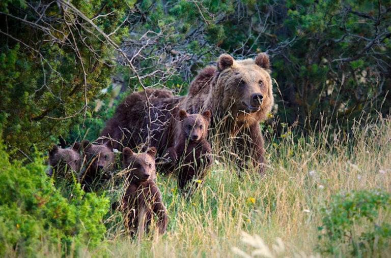 Gli orsi del parco nazionale dell'Abruzzo